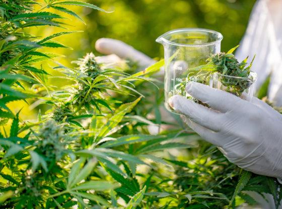 Srbija treba da legalizuje marihuanu – pogledajte Kolorado