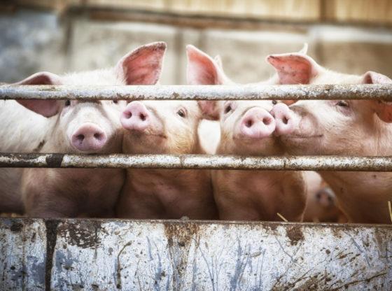 O svinjama i slobodi – uloga trgovine u oslobađanju Srbije